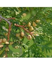 Cedar Leaf Thuja Essential Oil