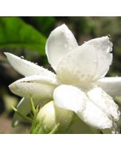 Jasmine Grandiflorum Absolute Essential Oil