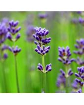 Lavender Bulgarian Essential Oil