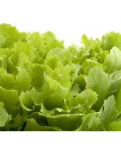 Lettuce Fragrant Oil