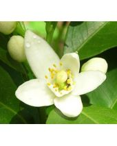 Neroli Fragrant Oil