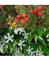 Rosehip Jasmine Fragrant Oil