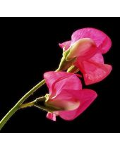Sweet Pea Fragrant Oil