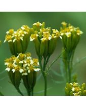 Tagetes Egyptian Essential Oil