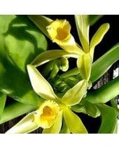 Vanilla Non Discoloring Fragrant Oil