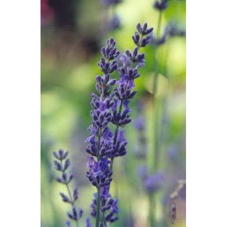 Black Amber And Lavender Fragrant Oil