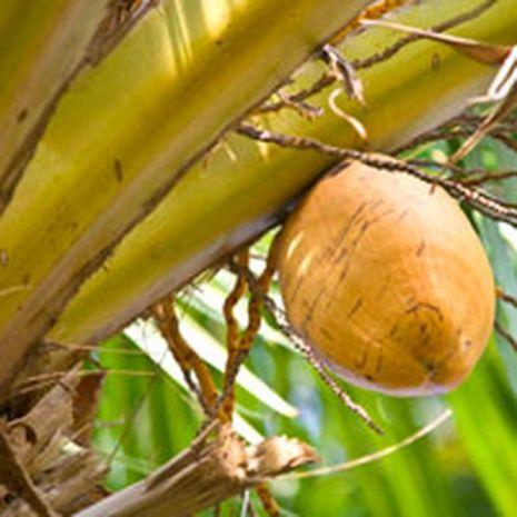 Coconut Lemongrass Fragrant Oil