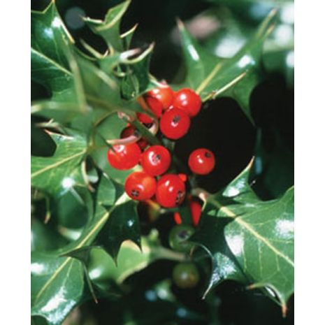 Hollyberry Fragrant Oil