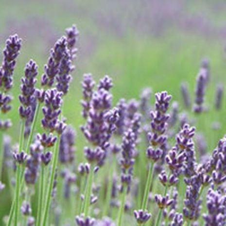 Lavender Fragrant Oil