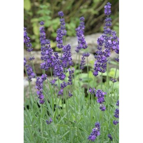 Lavender Population Essential Oil