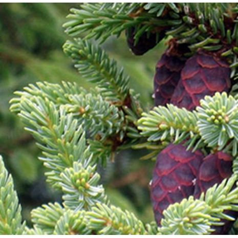 Spruce Black Essential Oil