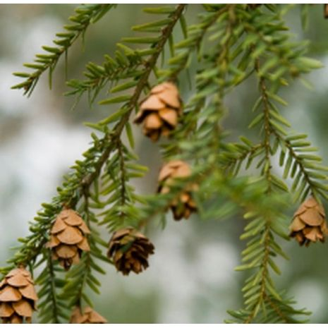 Spruce Hemlock Essential Oil